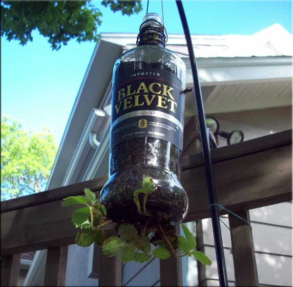 Liquor Bottle Strawberry Plant Holder