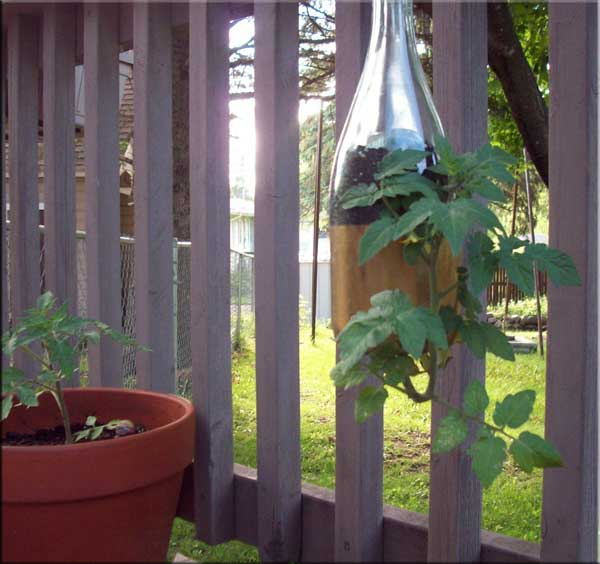 Recycled bottle plant holder for tomato plant