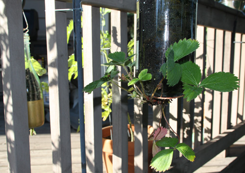 Glass Plant Holder for Strawberrys