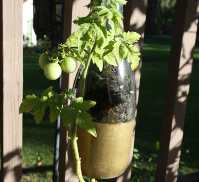 Glass Bottle Holder for Tomatoes